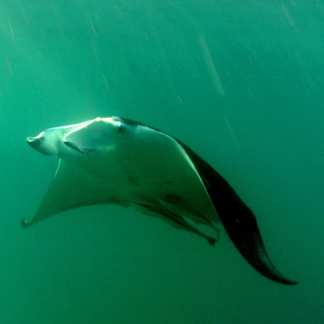 Snorkeling with Manta rays in South Africa