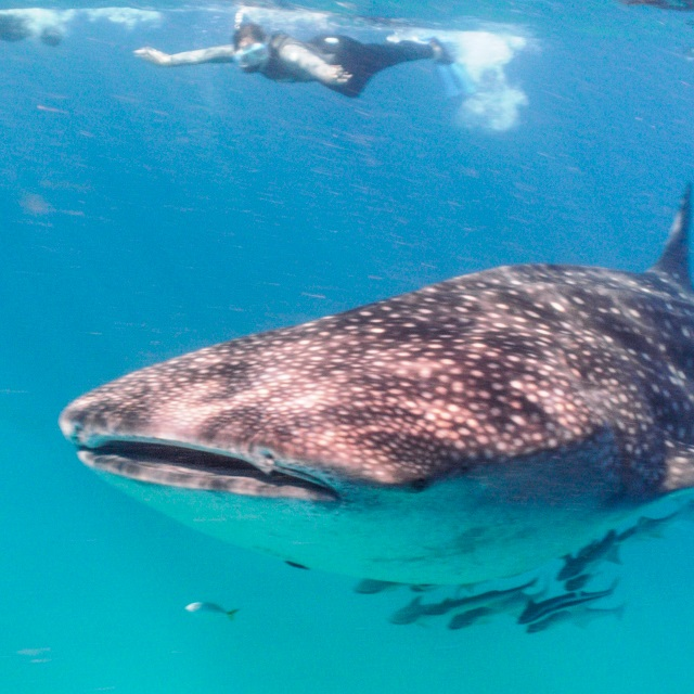 Swim with whalesharks in South Africa