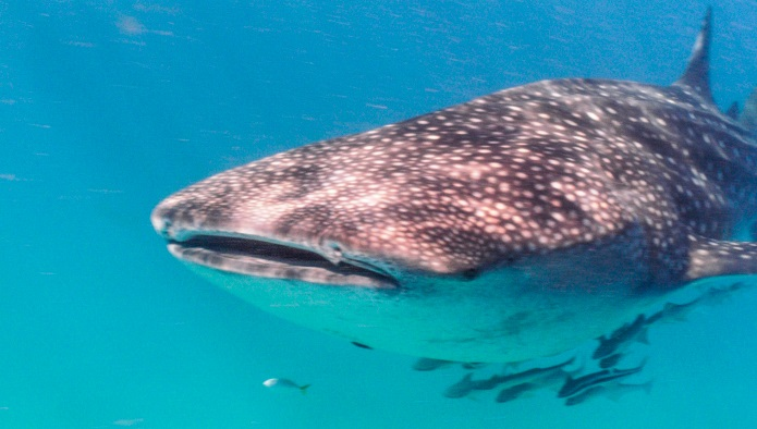 snorkeling and diving with whalesharks in south africa