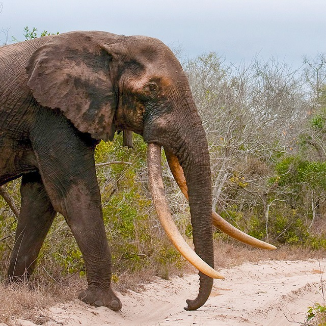 Guided Safaris in Tembe Elephant Park.
